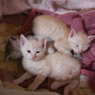 茶トラの子猫二匹
