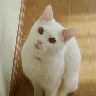 クールビューティふわ白猫ちゃん♪