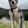 トラ柄が美しい。活発で賢い子犬 サムネイル7