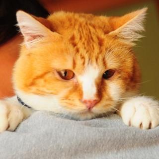 白血病5ヶ月 めちゃめちゃ甘えた!ふわふわ仔猫くん