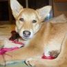 優しい性格の愛らしい子犬「ラスちゃん」 サムネイル7