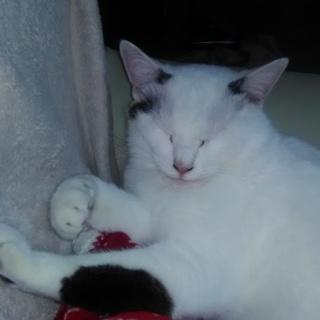 白黒模様の猫の里親を募集しています