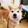 柴犬♀推定3歳のムギ♡ご家族さま決定!