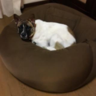 お散歩好きな下津井犬のサリーちゃん。