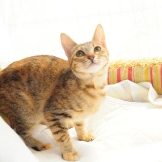 シンガプーラ似☆スレンダーキジ猫ちゃん