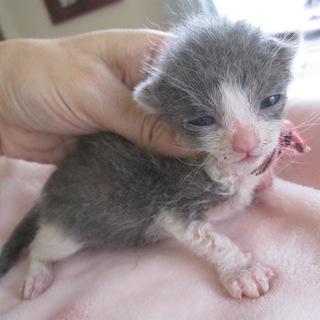 かわいい赤ちゃん灰白 りんちゃん授乳中