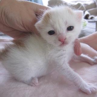 かわいい赤ちゃん白茶どろっぷちゃん
