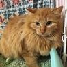 長毛の茶トラ ソフィーくん 2歳 サムネイル2
