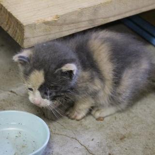 三毛猫の子猫です。