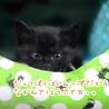 ミルク育ちの甘えん坊黒猫男子《桜人》 サムネイル3