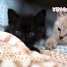 ミルク育ちの甘えん坊黒猫男子《桜人》 サムネイル6