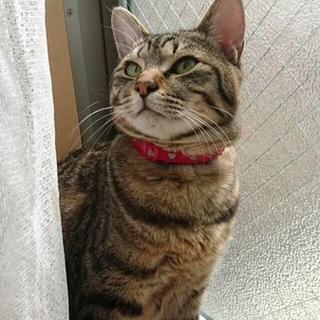 推定1歳 猫見知りゼロの正統派美人猫 りおん