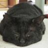 体重8kg!巨猫の豪ちゃん約5歳 サムネイル6