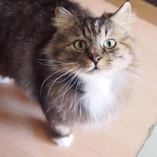 可愛い長毛種の猫