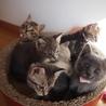 ※トライアル中です美猫6兄妹「ジジ」♪ サムネイル6