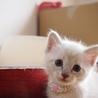 ※トライアル中です美猫兄妹「ミミ」♪ サムネイル4