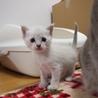 ※トライアル中です美猫兄妹「ミミ」♪ サムネイル5