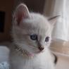 ※トライアル中です美猫兄妹「ミミ」♪ サムネイル6