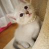 ※トライアル中です美猫兄妹「ミミ」♪ サムネイル2