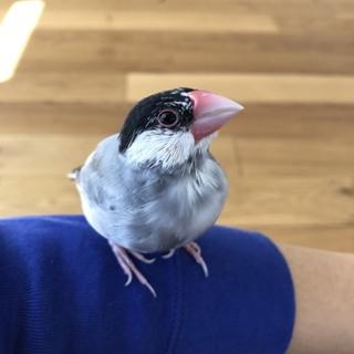 停止中 2016年11月生まれの桜文鳥です
