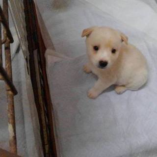 山口県野犬の子犬を保護しました。 生後1か月男の子