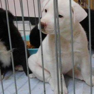 山口県野犬の子犬。生後2か月女の子(トライアル予定
