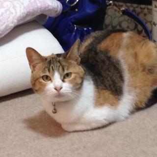 4歳 雌の三毛猫 美猫です。