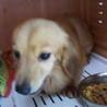 繁殖リタイア犬のカニンヘンダックス
