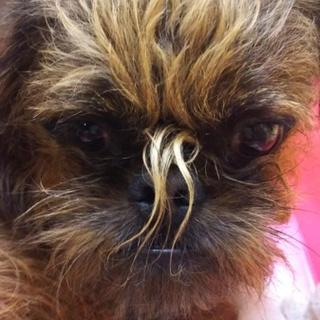繁殖リタイア犬のブリュッセルグリフォン