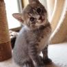 ※トライアル中です、美猫6兄妹「ルル」♪ サムネイル3