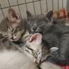 ※トライアル中です、美猫6兄妹「ルル」♪ サムネイル7