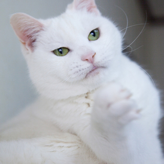 穏やかで物静かな白猫