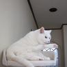 穏やかで物静かな白猫 サムネイル2