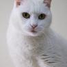 穏やかで物静かな白猫 サムネイル3