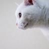 穏やかで物静かな白猫 サムネイル4