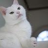 穏やかで物静かな白猫 サムネイル6
