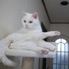 穏やかで物静かな白猫 サムネイル7