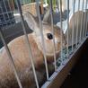 自宅で飼っている若いウサギ(オス)です サムネイル2