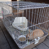 自宅で飼っている若いウサギ(オス)です サムネイル3