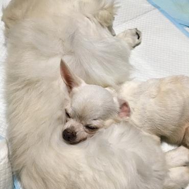 ペキ枕 (o^^o)   全盲の姫白〔こはく〕がペキニーズのガチャを枕にスヤスヤ。フカフカのガチャの毛は気持ちいいね。