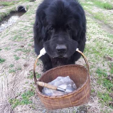 ニューファンドランドのセバスチャン。水難救助犬、お疲れ様でした。28・12・27没
