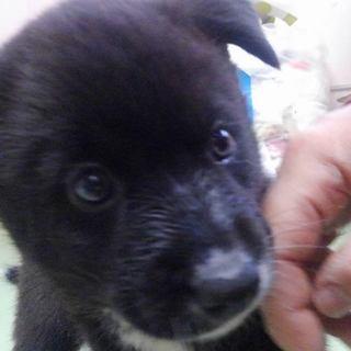 山口県野犬の子犬を保護しました。 生後2か月女の子