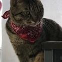 キジトラハンサム成貓の家族募集中