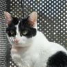 きりっとした白黒成貓(♀) サムネイル6