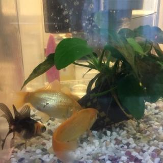 金魚すくいの金魚達5匹
