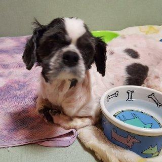 シーズー老犬15歳。立てません。腫瘍あり。