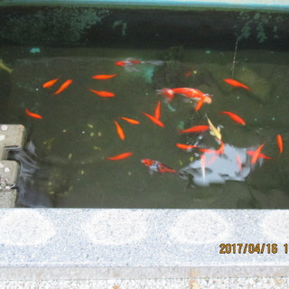 金魚等 水槽