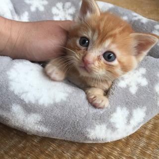 募集停止します 生後3~4週間茶トラ子猫