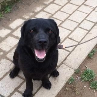 ラブラドール(黒)成犬、里親募集