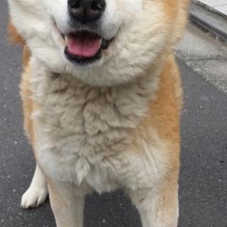 お散歩大好き!おとなしい柴犬